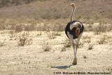 Common OstrichStruthio camelus australis
