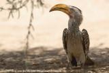 Zuidelijke Geelsnaveltok / Southern Yellow-Billed Hornbill