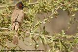 Maskerbuulbuul / African Red-Eyed Bulbul