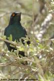 Roodschouderglansspreeuw / Cape Glossy Starling