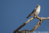 Afrikaanse Dwergvalk / Pygmy Falcon