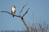 Vechtarend / Martial Eagle