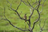 Ground WoodpeckerGeocolaptes olivaceus prometheus