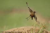 Southern Anteating ChatMyrmecocichla formicivora orestes