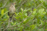 White-Browed Scrub-RobinCercotrichas leucophrys leucophrys