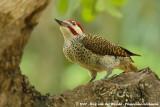Bennett's WoodpeckerCampethera bennettii bennettii