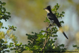 Jacobin CuckooClamator jacobinus serratus