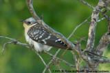 Great Spotted CuckooClamator glandarius choragium