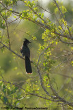Levaillant's CuckooClamator levaillantii