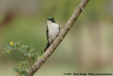 Diderick CuckooChrysococcyx caprius