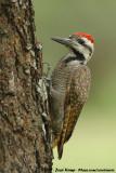 Bearded WoodpeckerChloropicus namaquus coalescens