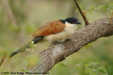 Burchell's CoucalCentropus burchelli
