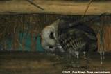 Barn OwlTyto alba affinis