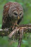 Barred Owl w/ Snake
