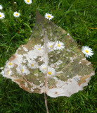 Filligreed Leaf over Daisies