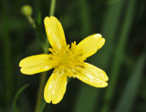 Star-shaped Tiny Yellow Flower