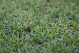 Prickly grass
