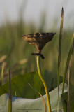 Water-Lilly-Seed-Pod