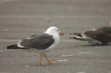 lesser black-backed gull salisbury