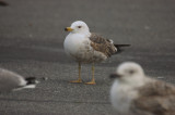 20110512-DSC_3711.jpglesser black-backed gull salisbury