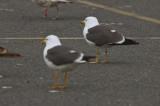 lesser black-backed gulls salisbury ma