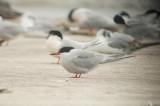 common tern sandy point plum island ma