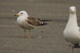 3rd year lesser black-backed gull salisbury ma