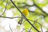 prothonotary warbler brooks estate Medford