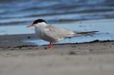 common tern sandy point plum island