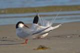 roseate terns sandy point plum island