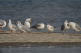 bonaparte's and little gull sandy point plum island ma