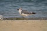 laughing gull sandy point plum island