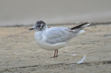 little_gulls
