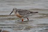 banded red knot sandy point plum island