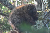porcupine petit manan maine