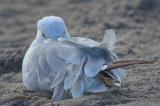 sleepy ring-billed gull