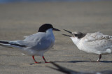 roseate tern and young