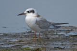 Forster's tern Sandy Point Plum Island