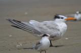 Royal Tern Sandy Point Plum Island