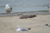 juv Lesser Black-back Gull Sandy Point PI