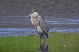 great blue heron stage island pool pi