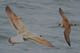 greater shearwater and GBBG