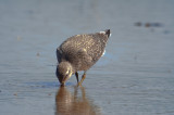 juv. red knot sandy point plum island