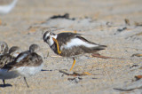 scratchy semipalmated plover