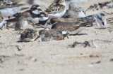 check out the third plover back, another hmmmm.......