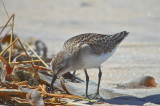 look at those webs semipalmated sandpiper