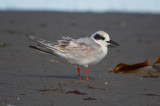 juv forster's tern sandy point plum island