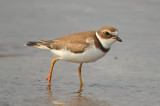 semipalmated plover juv. sandy point plum island