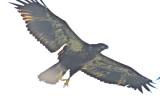 juv bald eagle plum island
