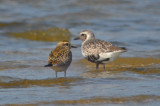 am.golden and black-bellied plovers sandy point pi